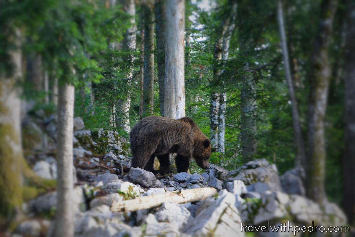 Observação de Ursos Na Eslovênia Um Deliciosa Aventura #41633B 1200 800