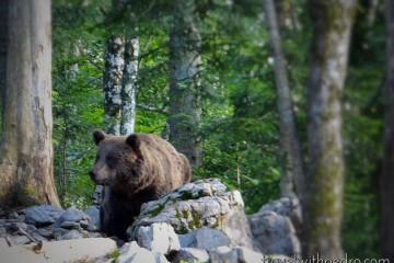 Fazendo Observação de Ursos na Eslovênia